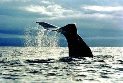壁纸 动物 海洋动物 鲸鱼 桌面 400_270
