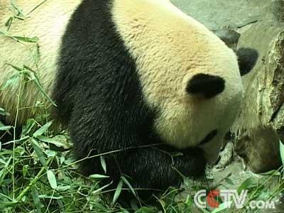 大熊猫食物之谜