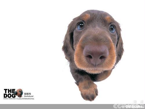 世界上最小的狗狗