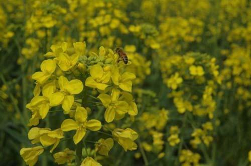 忙碌于花丛中的小蜜蜂图片